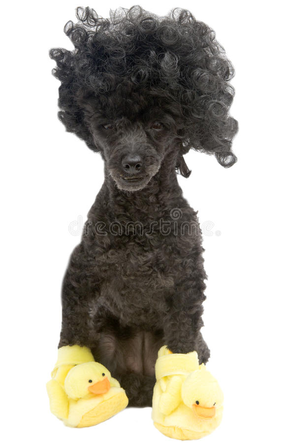 Poodle In Duck Slippers stock photography