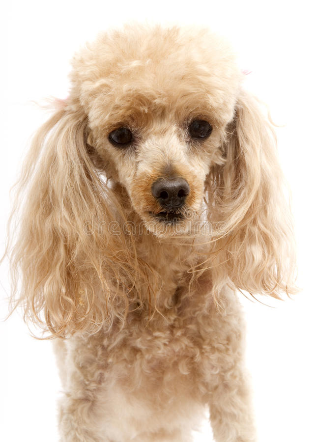 Poodle Face royalty free stock images
