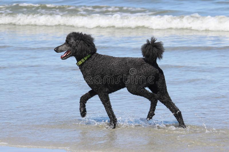 Poodle Fun. A black standard poodle running in the water at the beach royalty free stock photos