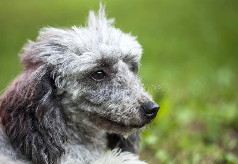 Poodle in the garden. Purebred poodle portrait outdoor in the garden royalty free stock photo