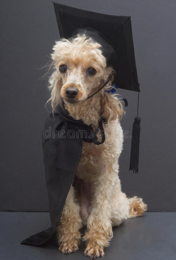 Poodle In Graduation Cap And Gown Stock Image - Image of animal ...