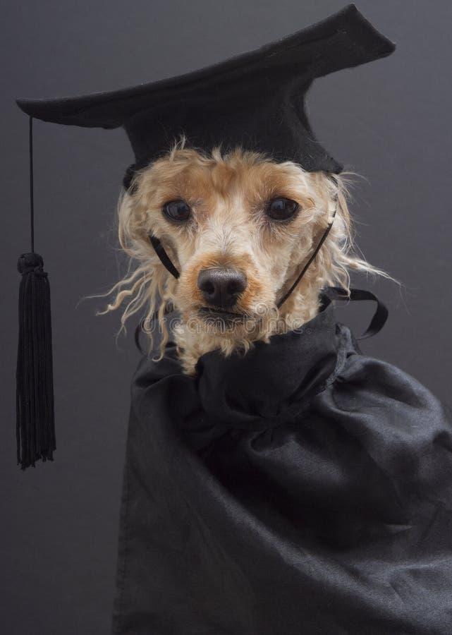 Fun, Furry And Smart Graduate Stock Photo - Image of animal ...