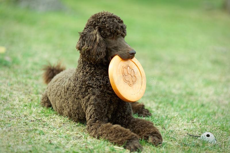 Poodle on the ground. Poodle portrait in the summer with bright green background. Brown standard poodle laying on the grass with smart look in its eyes stock images