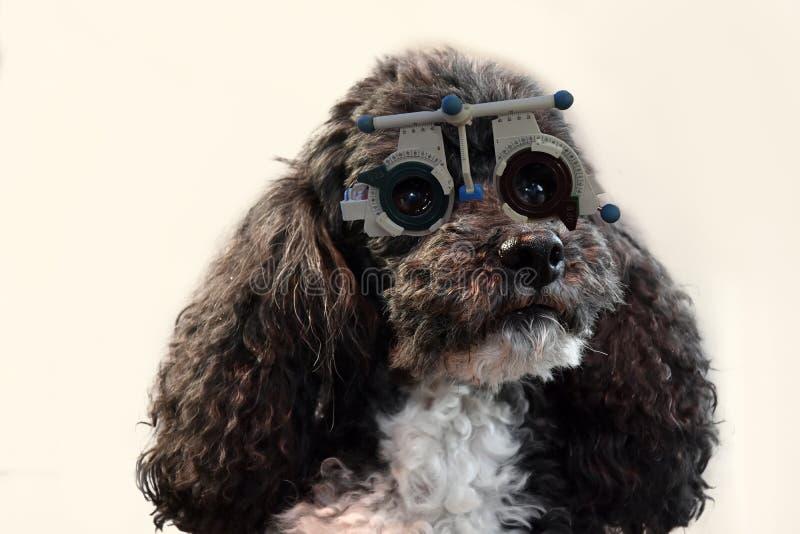 Poodle Harlequin στον οπτικό που ελέγχει την όρασή του στοκ εικόνες
