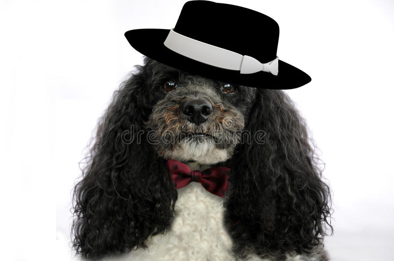 Poodle with hat and bow tie. Elegant dressed harlequin poodle, with black hat and red bow tie stock image