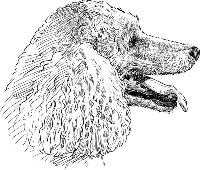 Download Poodle head stock image. Image of tongue, snout, sketch - 33616859