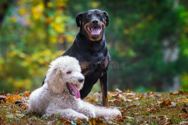 Poodle and lab. Smiling while sitting in the grass stock photos