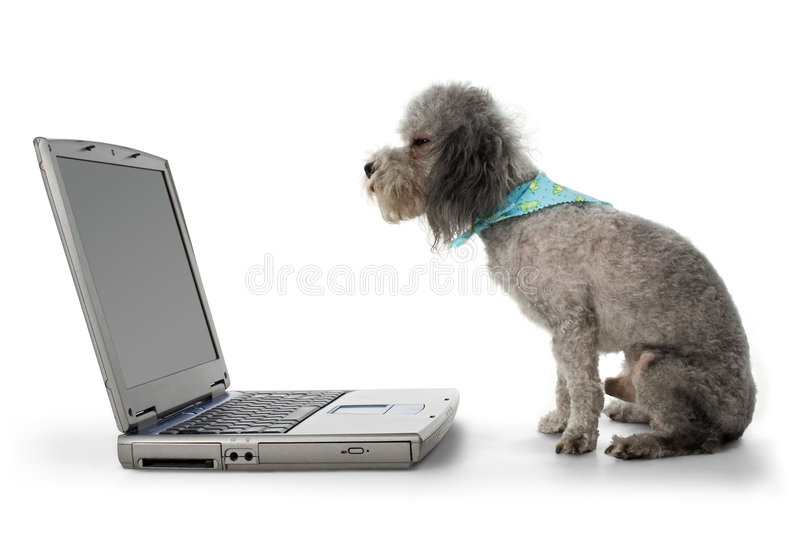 Poodle and Laptop stock images