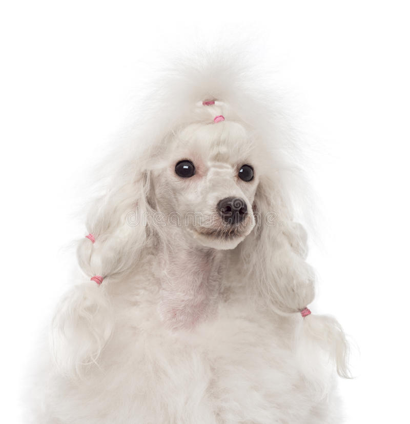 Poodle looking away. Close-up of a Poodle looking away stock image