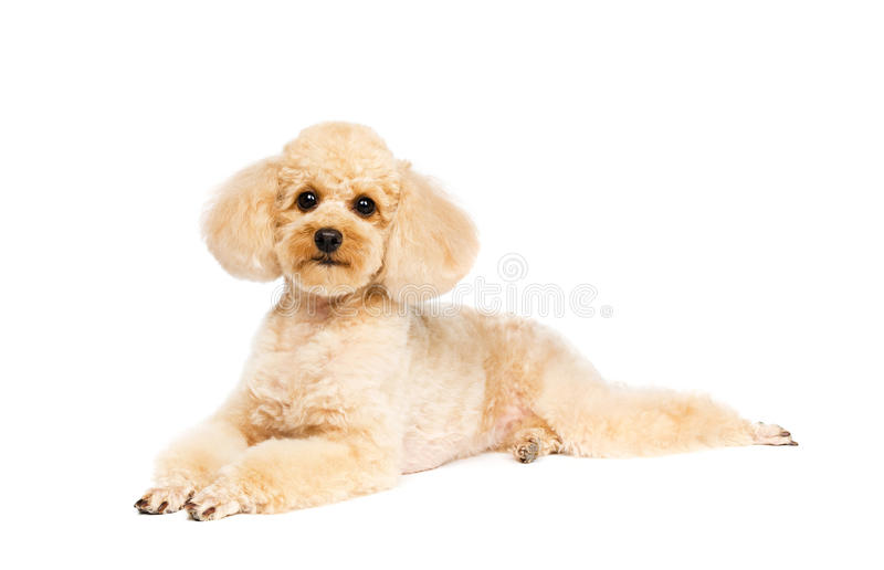 Poodle lying on a white background stock photos