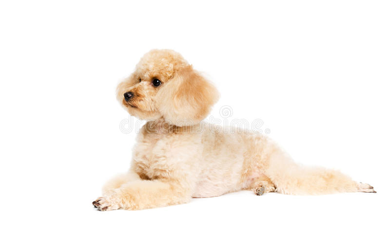 Poodle lying on a white background. And looking to the side. Dog apricot stock image