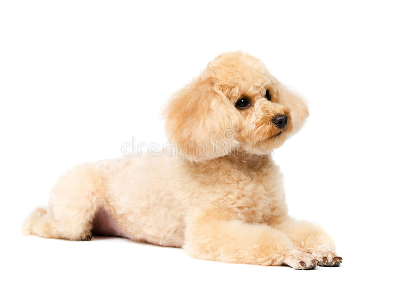 Poodle lying on a white background royalty free stock images