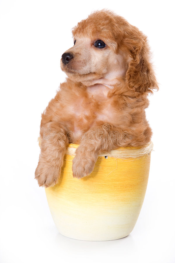 Download Poodle Medium puppy stock image. Image of baby, animals - 3671989