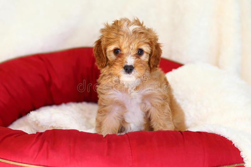 Poodle mix puppy sits on a doggy bed stock images