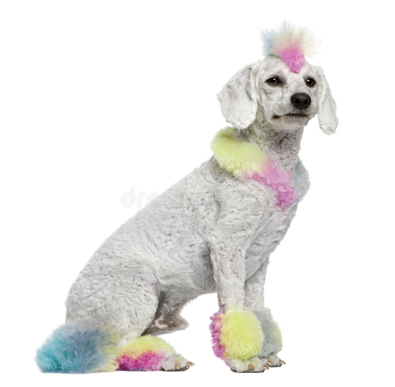 Download Poodle With Multi-colored Hair, 12 Months Old Stock Image - Image: 14886551