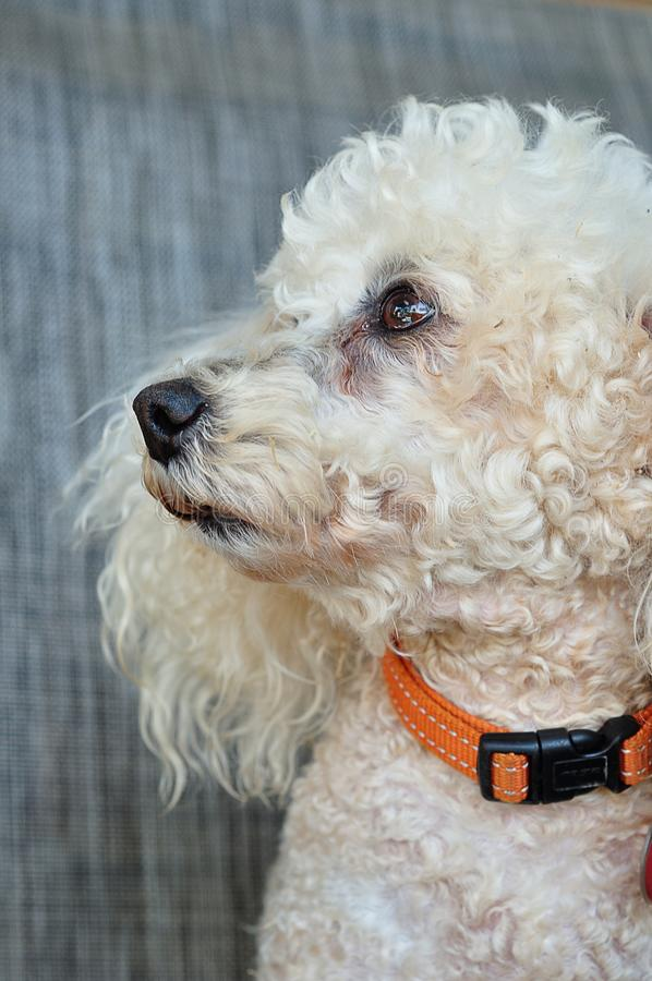 A poodle with an orange collar. Against a grey background stock image
