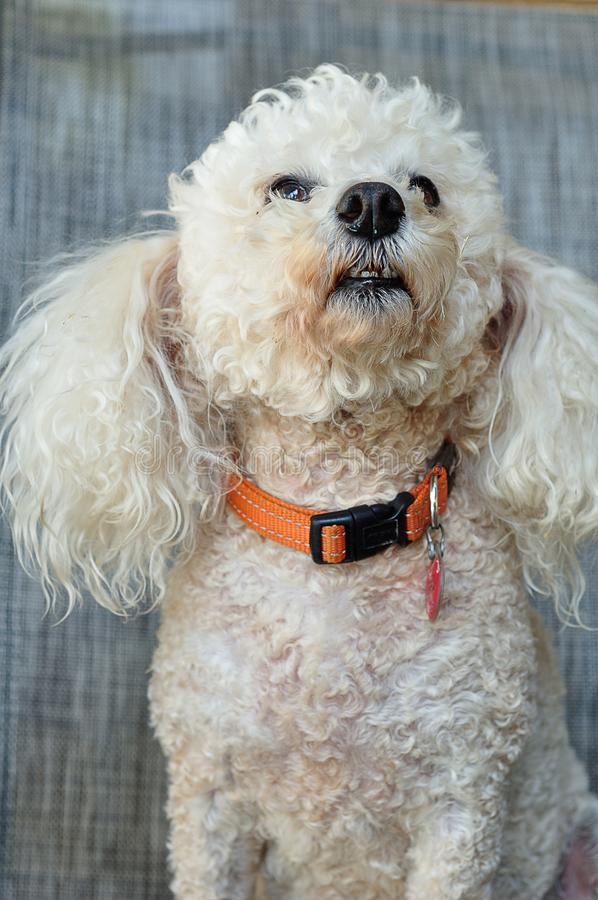 A poodle with an orange collar. Against a grey background royalty free stock images