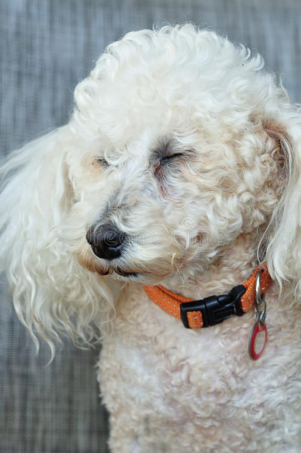 A poodle with an orange collar. Against a grey background stock images