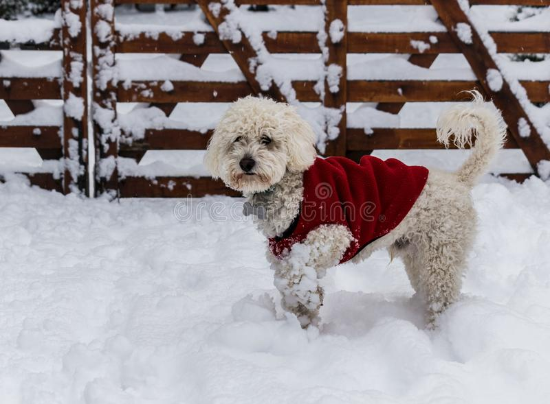 Poodle playing in the snow. Nice white poodle dog with red coat playing in the snow during winter in Patagonia, Argentina stock photos