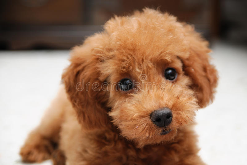 Poodle Portrait royalty free stock images