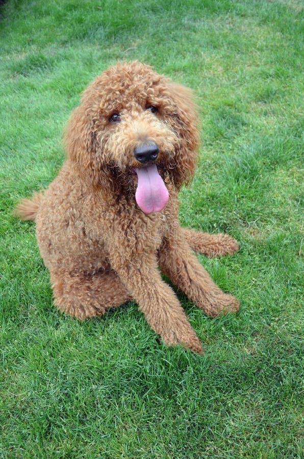 Poodle Portrait royalty free stock images