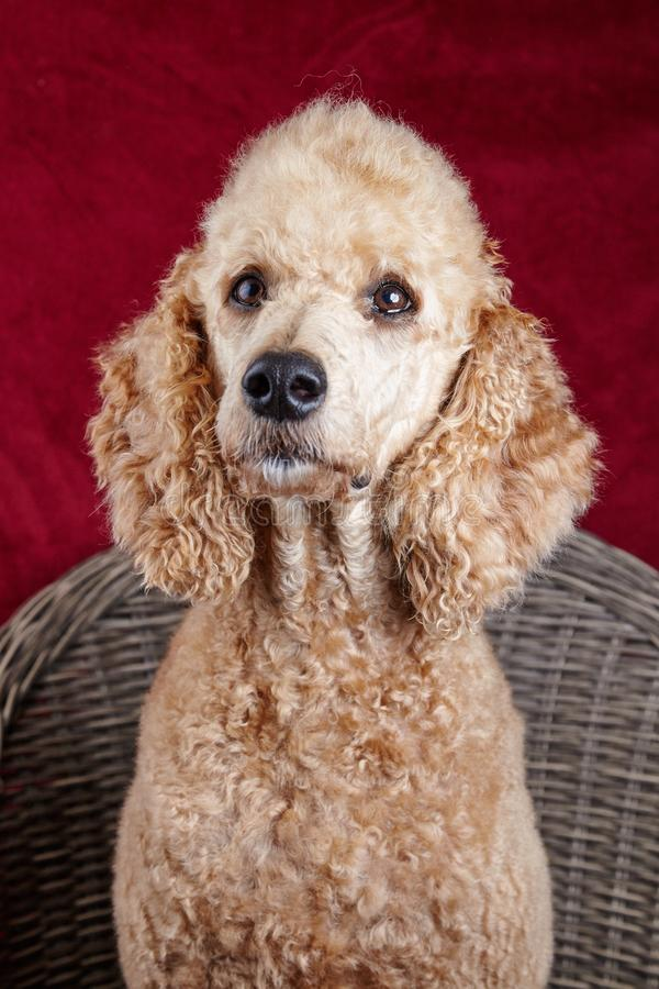 Poodle portrait in studio royalty free stock photos