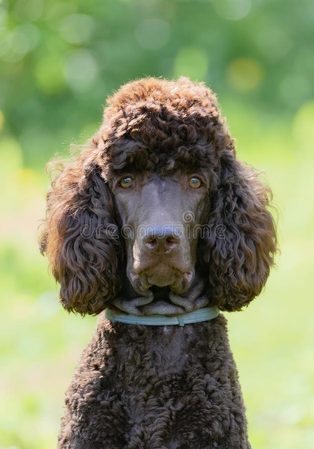 Poodle portrait. In the summer with bright green background. Brown standard poodle sitting on the grass with smart look in its eyes stock images