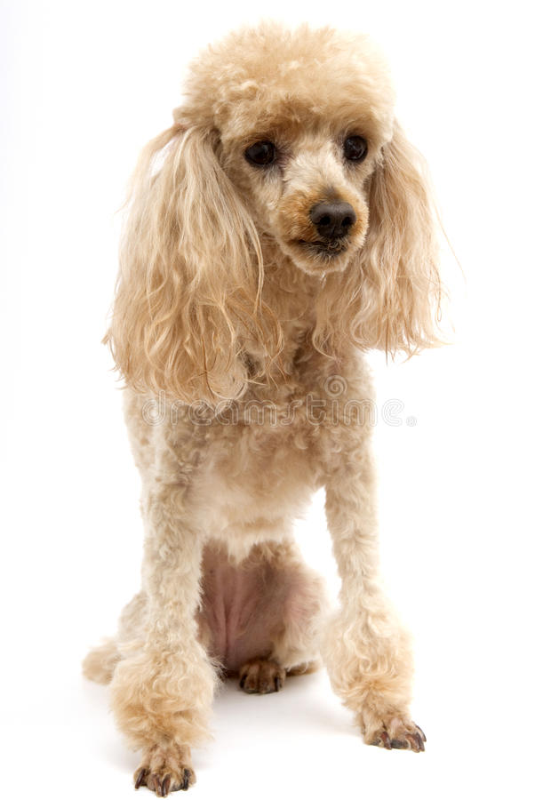 Poodle Portrait with White Backdrop stock image