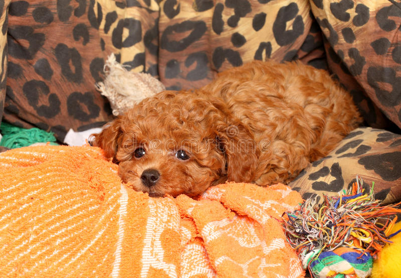 Poodle puppy royalty free stock photography
