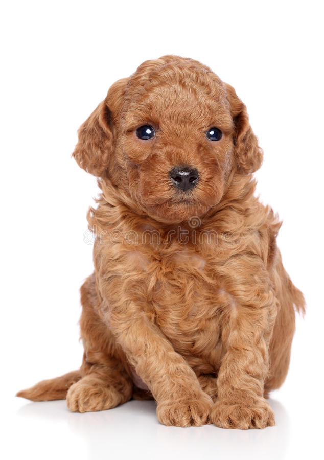 Poodle Puppy. Toy poodle puppy sits on a white background stock photo