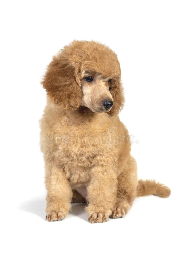 Poodle puppy apricot color sitting and looking away. On white background royalty free stock image