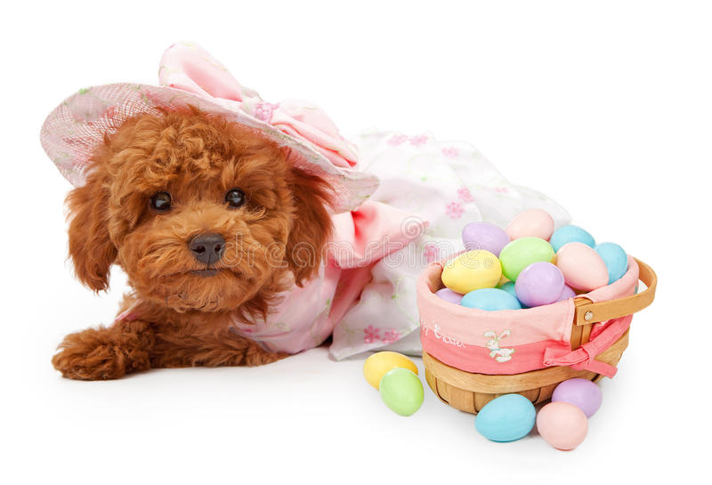 Poodle Puppy with Basket of Easter Eggs royalty free stock image