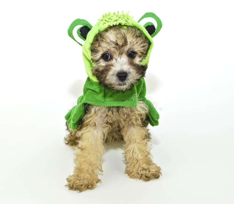 Poodle puppy In a frog outfit. stock image