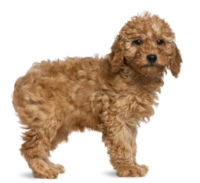 Poodle puppy, 2 months old. Standing in front of white background royalty free stock images