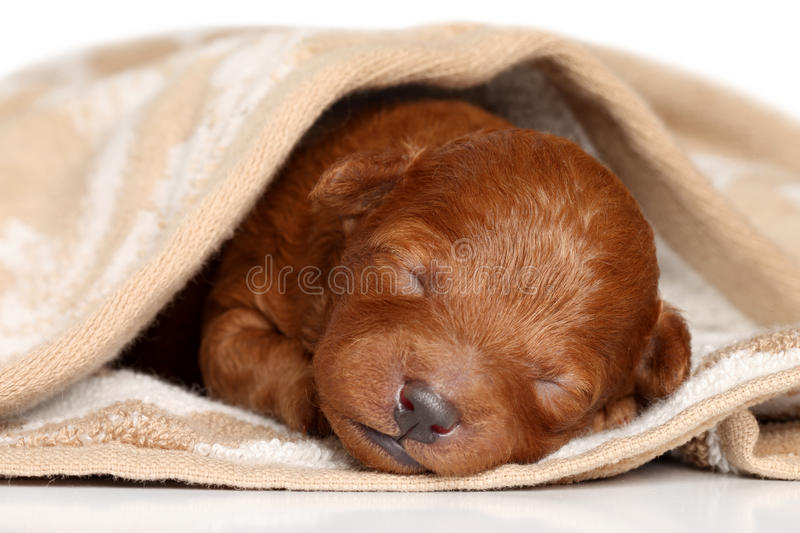 Download Poodle Puppy (one Week) Warped In Blanket Stock Photo - Image: 22808790