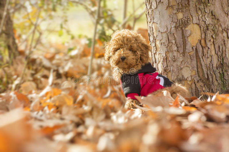 Poodle puppy stock images