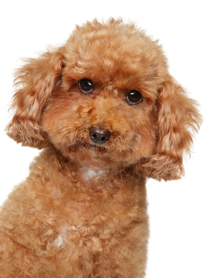 Poodle puppy portrait on a white background royalty free stock image