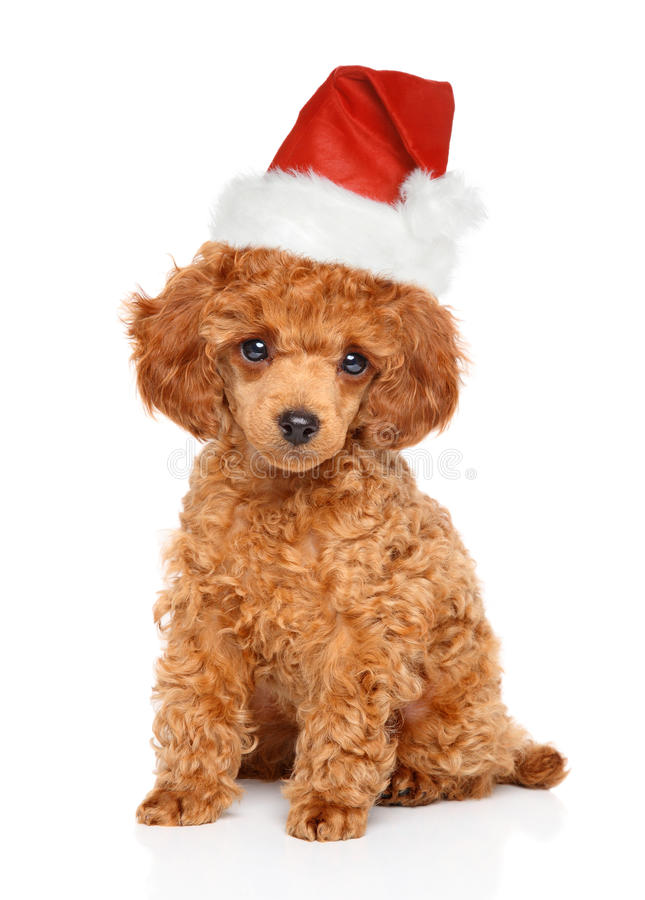Poodle puppy in Santa hat stock photos
