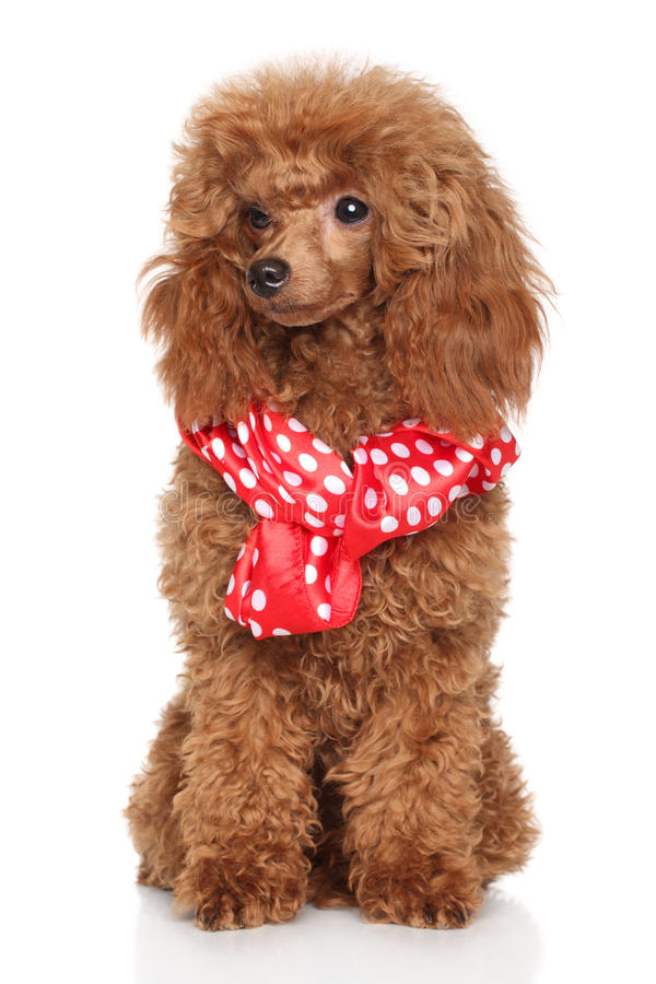 Poodle puppy in scarf stock photo
