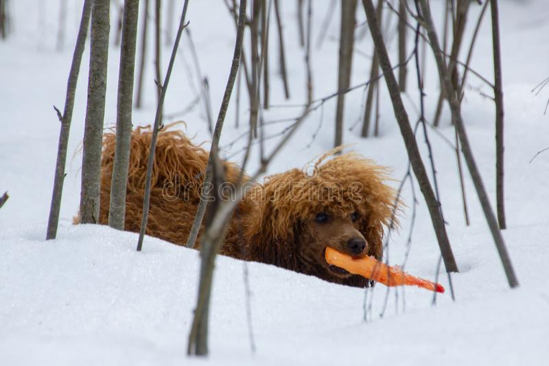Poodle puppy in the snowy forest. With a toy royalty free stock image