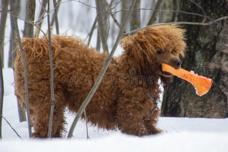 Poodle puppy in the snowy forest stock photos