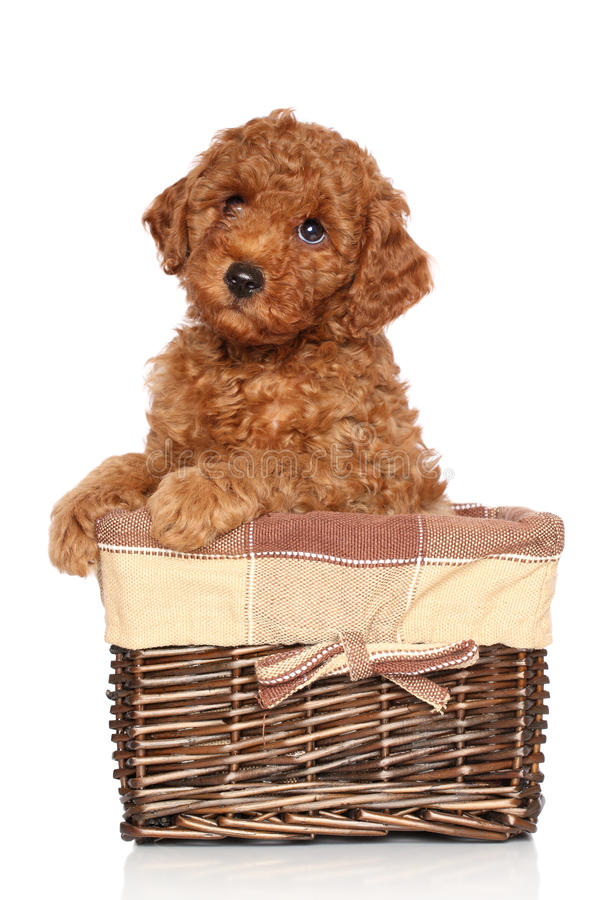 Download Poodle Puppy On A White Background Stock Photo - Image: 25440680