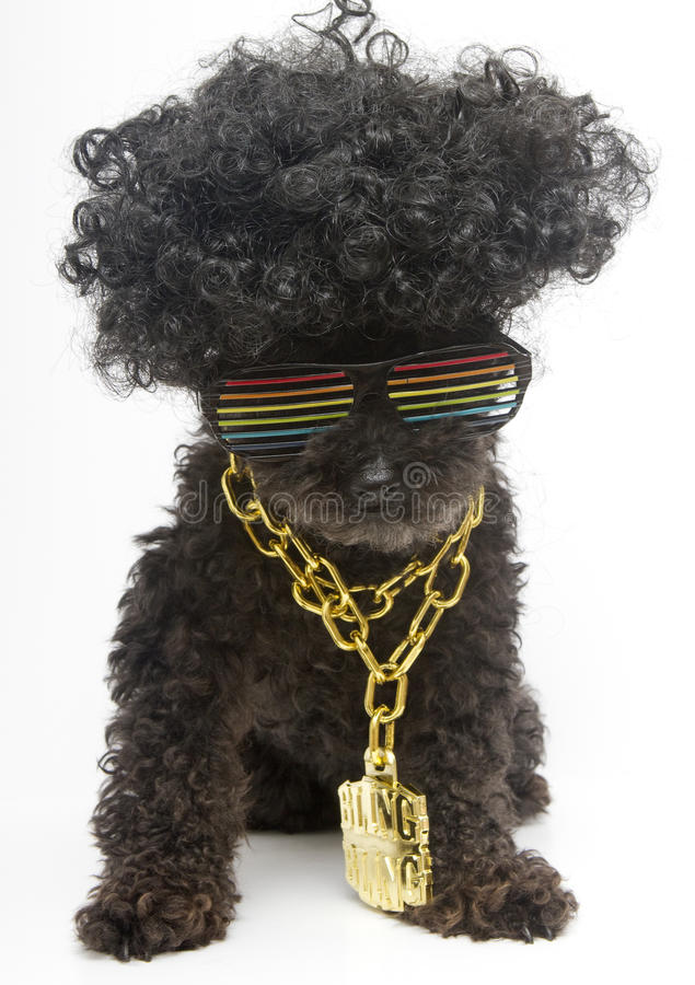 Poodle In Retro Rainbow Sunglasses & Bling Chain. A poodle in retro rainbow sunglasses and a gold bling bling chain royalty free stock image