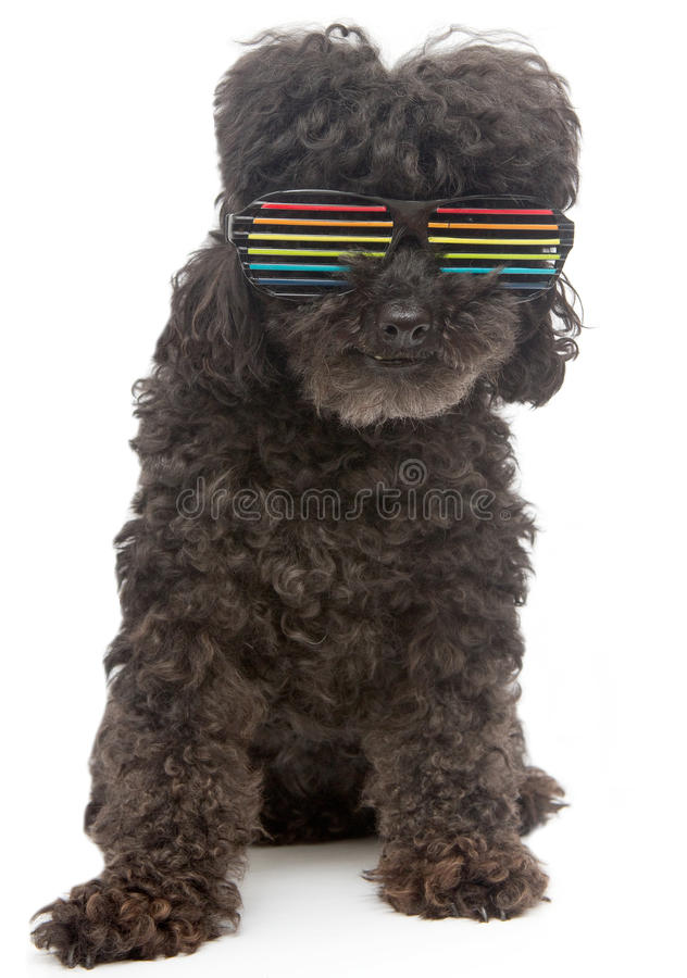 Poodle In Retro Rainbow Sunglasses On White Background. A poodle in retro rainbow sunglasses, isolated on a white background stock photos