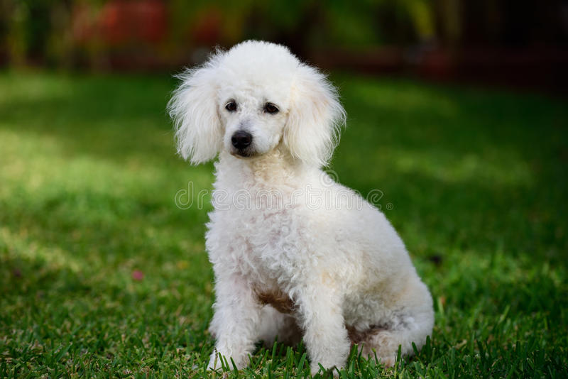 Poodle sit in park royalty free stock photos