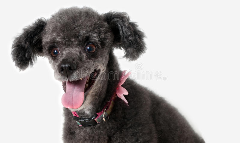 Poodle smiling royalty free stock photography
