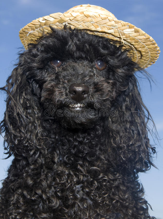 Download Poodle in Straw Hat stock photo. Image of looking, nobody - 17507418