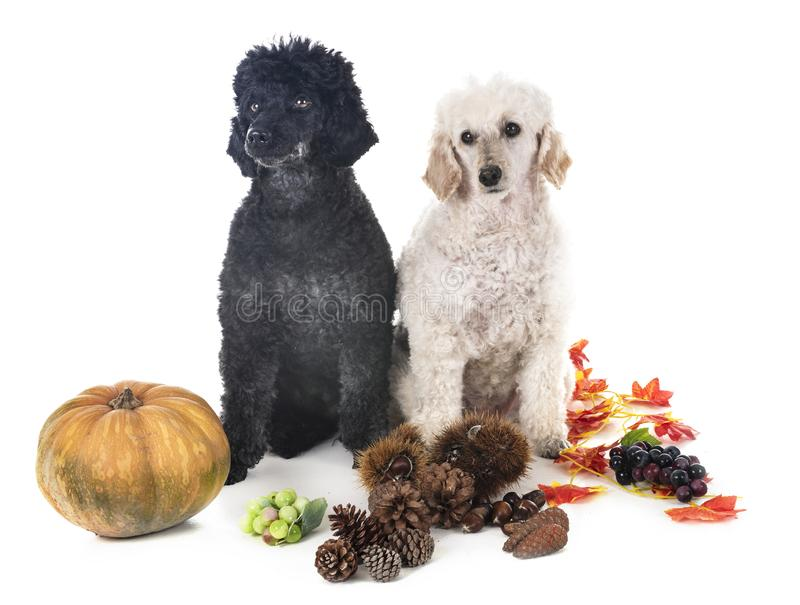 Poodle in studio. Young poodle in front of white background royalty free stock image