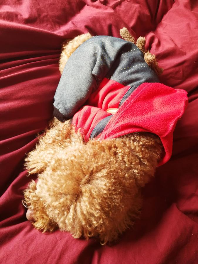 Poodle in suit sleeping. A little Poodle dog dress well suit and sleeping in red background stock photos