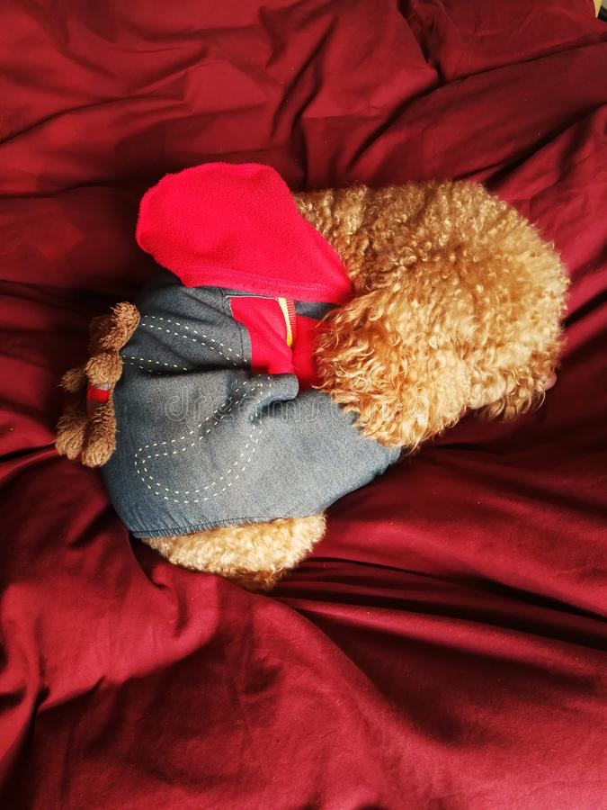 Poodle in suit sleeping. A little Poodle dog dress well suit and sleeping in red background royalty free stock photos